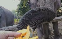 Feeding an elephant at a sanctuary in Chiang Mai Thailand