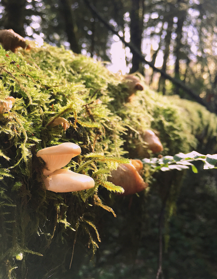White mushrooms on a mossy log, basking in sunlight in Ecola State Park