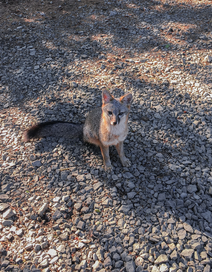 A friendly grey fox at the Palomarin Trailhead