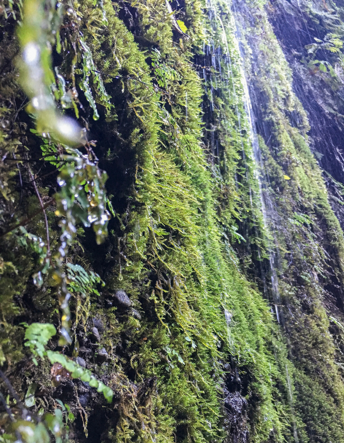 Water dripping from the side of Fern Canyon in the Redwoods National Park