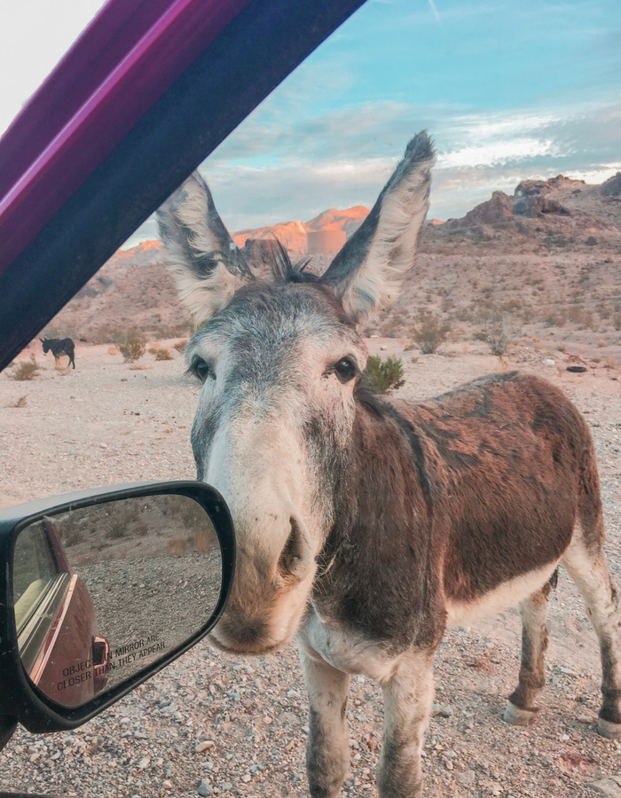 A wild donkey in the desert