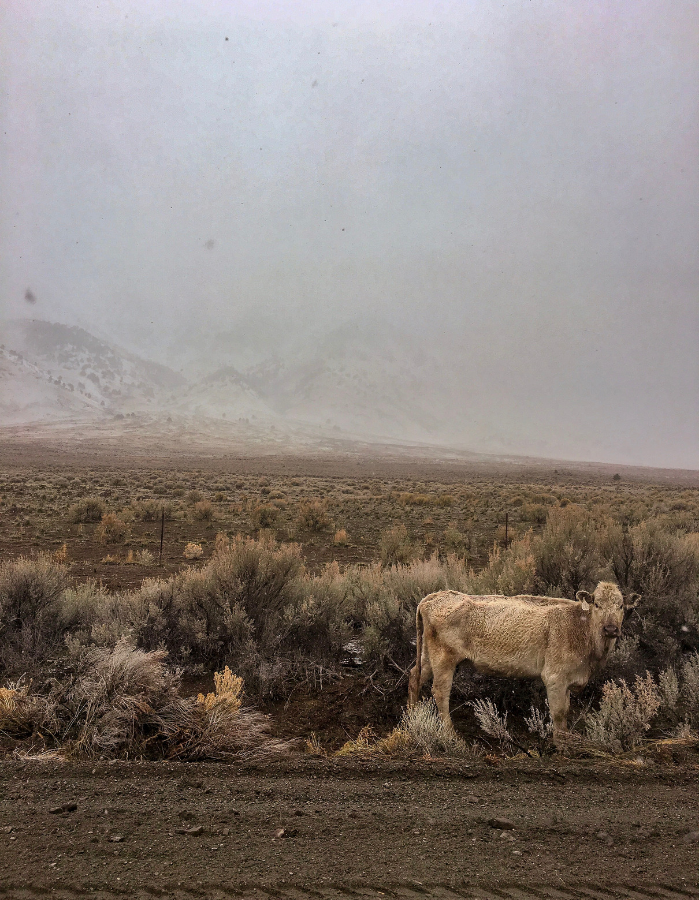 A cow standing near Folly Farm Road on the way to Alvord Desert Hot Spring