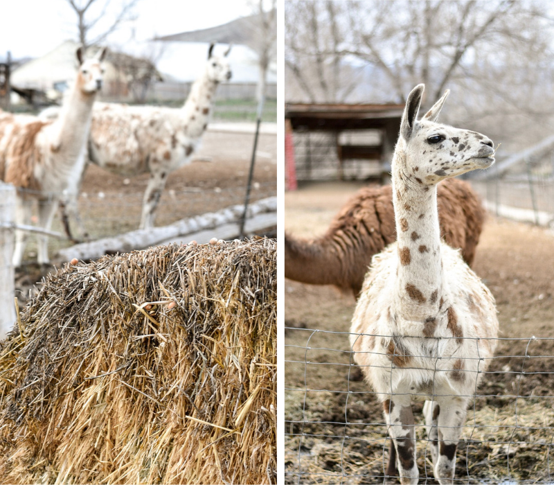 The 2 meanest llamas at Mystic Hot Springs - they will steal all of the hay